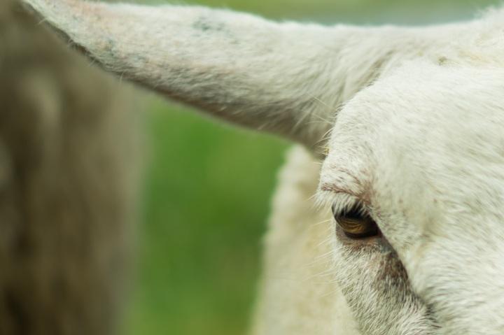 goat-498532