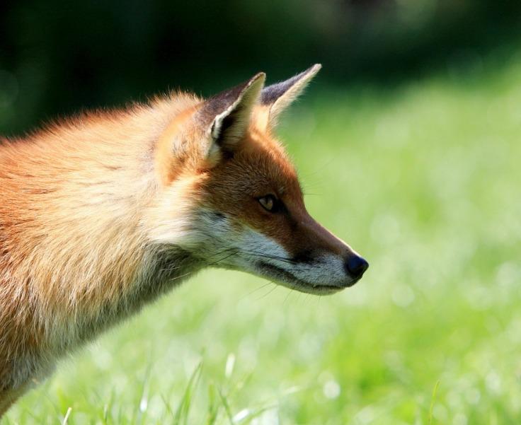 fox-317025_960_720