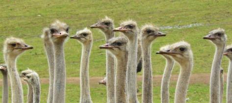ostriches-373339_960_720