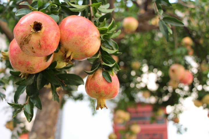 pomegranate-989551_1920